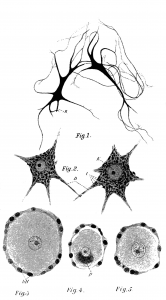 nerve_cells